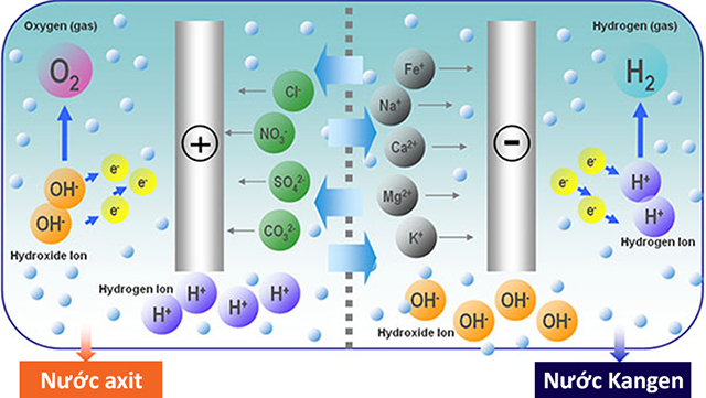 Nước Kangen (nước ion kiềm) được sản sinh ở cực âm, còn nước ion Axit được sản sinh ở cực dương