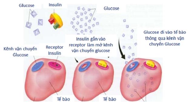 Insulin có chức năng kiểm soát glucose trong cơ thể