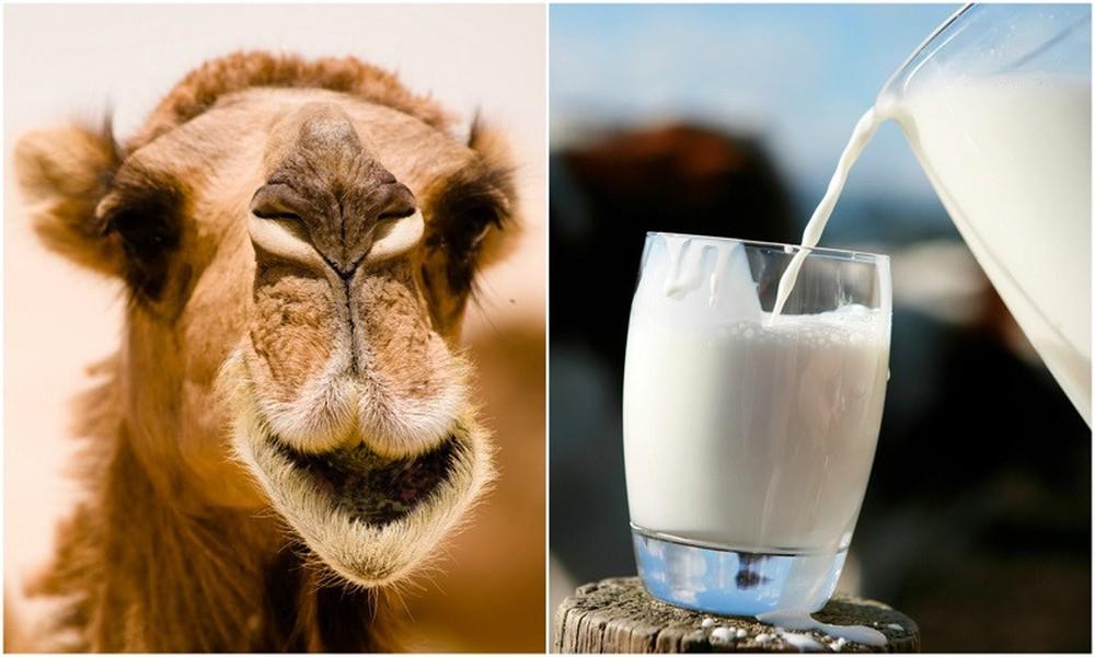 sữa lạc đà có nhiều chất béo