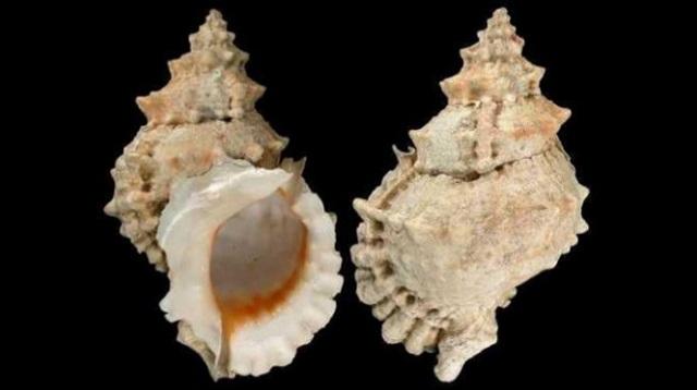Ở tuyến nước bọt của ốc biển dễ gây ra ngộ độc nếu không biết cách chế biến
